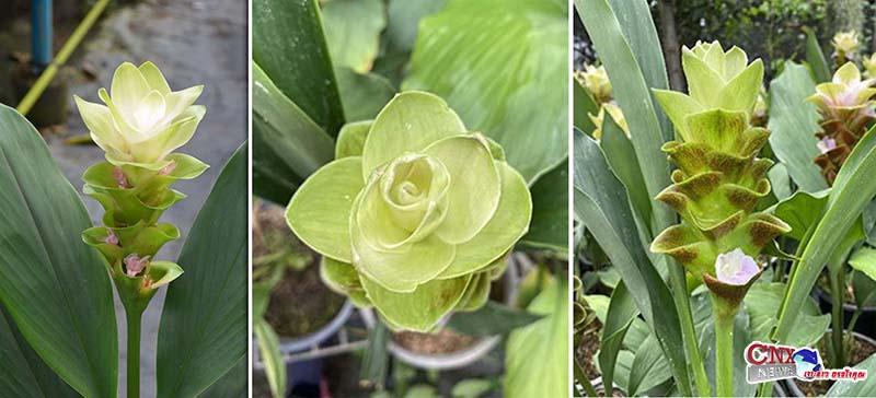 """ม.แม่โจ้ เปิดตัวพืชพันธุ์ใหม่ของโลก """"ปทุมมา 3N"""" จดสิทธิบัตรสงวนไว้เพื่อเกษตรกรไทยได้ผลิตและส่งขายทั่วโลก"""